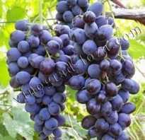 Мускат винный виноград