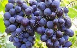Виноград мускат обливский описание