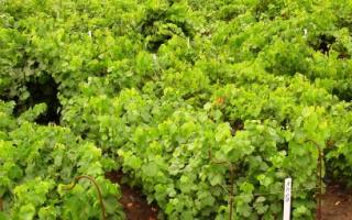 Как посадить куст винограда