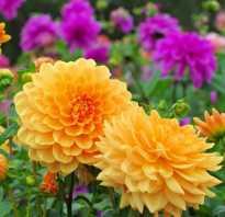 Сорта георгин названия описания фото и картинки цветка
