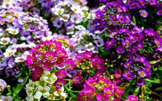Как вырастить многолетний цветущий алиссум из семян