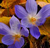 Безвременник крокус осеннего сада