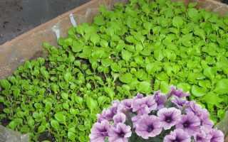 Самостоятельное выращивание петунии в домашних условиях
