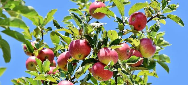 Болезни яблонь и их признаки