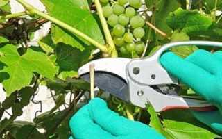 Когда обрезать виноград в средней полосе