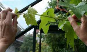 Можно ли обрезать виноград в дождливую погоду