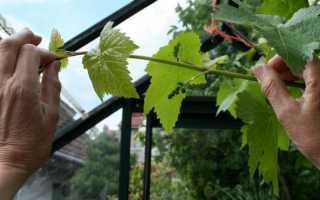Как часто обрезать виноград