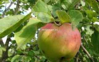 Сорт яблони антоновка десертная