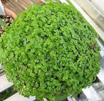 Комнатные растения теневыносливыесолейролия или хельксина