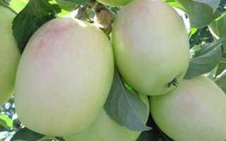 Летние сорта яблок для подмосковья