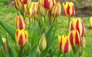 Тюльпаны секреты выращивания