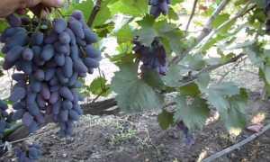 Виноград памяти мигули