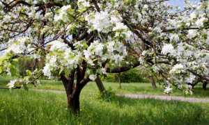 Удобрение яблонь куриным пометом
