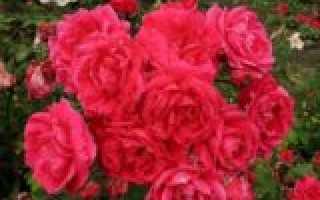 Какие розы можно не укрывать на зиму