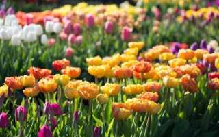 Чем подкормить тюльпаны