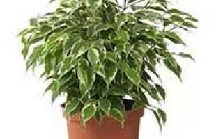 Комнатные декоративно лиственные растения каталог