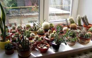 Как часто надо поливать кактусы в домашних условиях