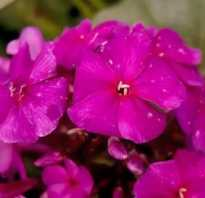 Сорта розовых флоксов