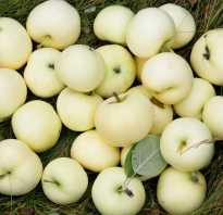 Яблоня белый налив описание фото отзывы посадка
