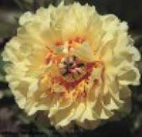 Желтый пион долгожданное цветение