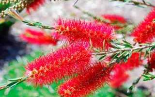 Цветы каллистемон в домашних условиях фото сортов