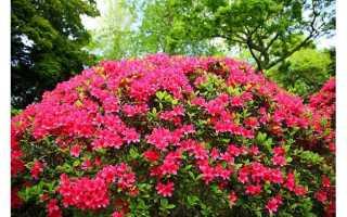 Как ухаживать за азалией в домашних условиях после цветения