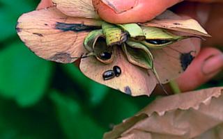 Морозник рождественская роза выращивание из семян