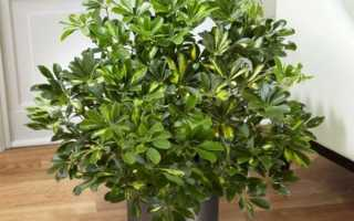 Комнатное растение шеффлера