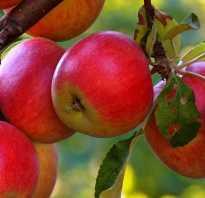 Осенние и зимние сорта яблок