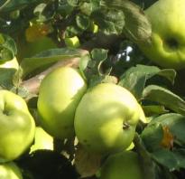 Виды яблок антоновка