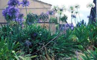 Агапантус agapanthus или африканская лилия посадка и уход