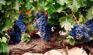 Куриный помет как удобрение для винограда