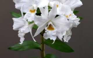 Орхидея дендробиум особенности