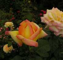 2 ремонтантные розы