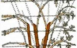Вьющиеся розы описание подвязка и обрезка