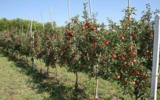 Как правильно посадить яблони на участке