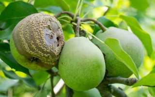 Почему груша гниет изнутри на дереве
