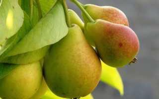 Как привить грушу осенью