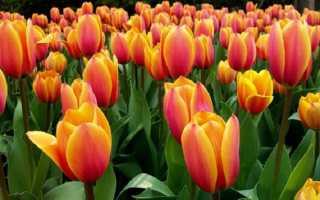 Что делать с тюльпанами в июле