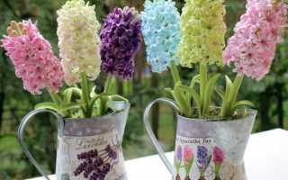 Гиацинт можно ли цветок весной высадить в грунт