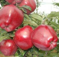 Сорт яблок чиф