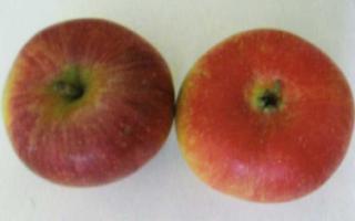 Яблоня союз описание сорта