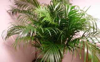 Как ухаживать за комнатной пальмой в домашних условиях