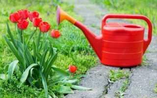 Учимся правильно ухаживать за тюльпанами
