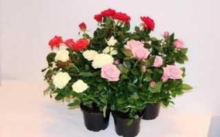 Как выращивать розы кустовые
