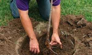 Инструкция посадки яблони