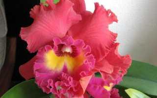 Орхидея каттлея как выглядит и как правильно ухаживать
