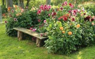 Сорта георгины фейерверк цветов