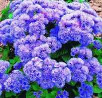 Голубая норка цветы фото