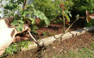 Как правильно размножать розы черенками